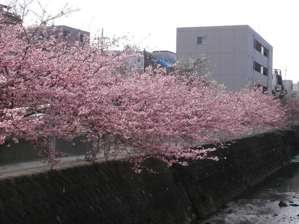 kawaduzakura.jpg