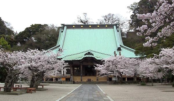 komyoji_hondo_sakura.jpg