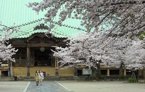 komyoji_sakura02.jpg